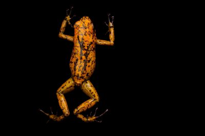Picture of a diablito, also known as a little devil poison frog (Oophaga sylvatica) Bilsa, Ecuador locality, from a private collection.