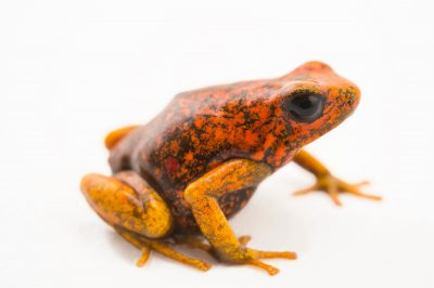 Picture of a diablito, also known as a little devil poison frog (Oophaga sylvatica) San Lorenzo, Ecuador locality, from a private collection.