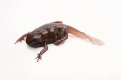 Picture of a three-month old tadpole of a Diablito (Oophaga sylvatica) San Lorenzo, Ecuador locality, from a private collection.
