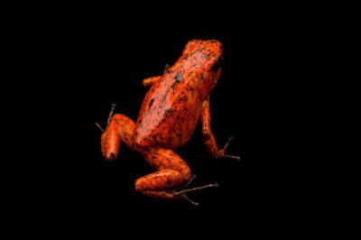 Picture of a diablito, also known as a little devil poison frog (Oophaga sylvatica) Rio Durango, Ecuador locality, from a private collection.