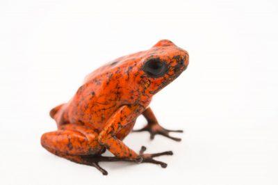 Picture of a diablito, also known as a little devil poison frog (Oophaga sylvatica) Rio Durango, Ecuador locality, from a private collection.