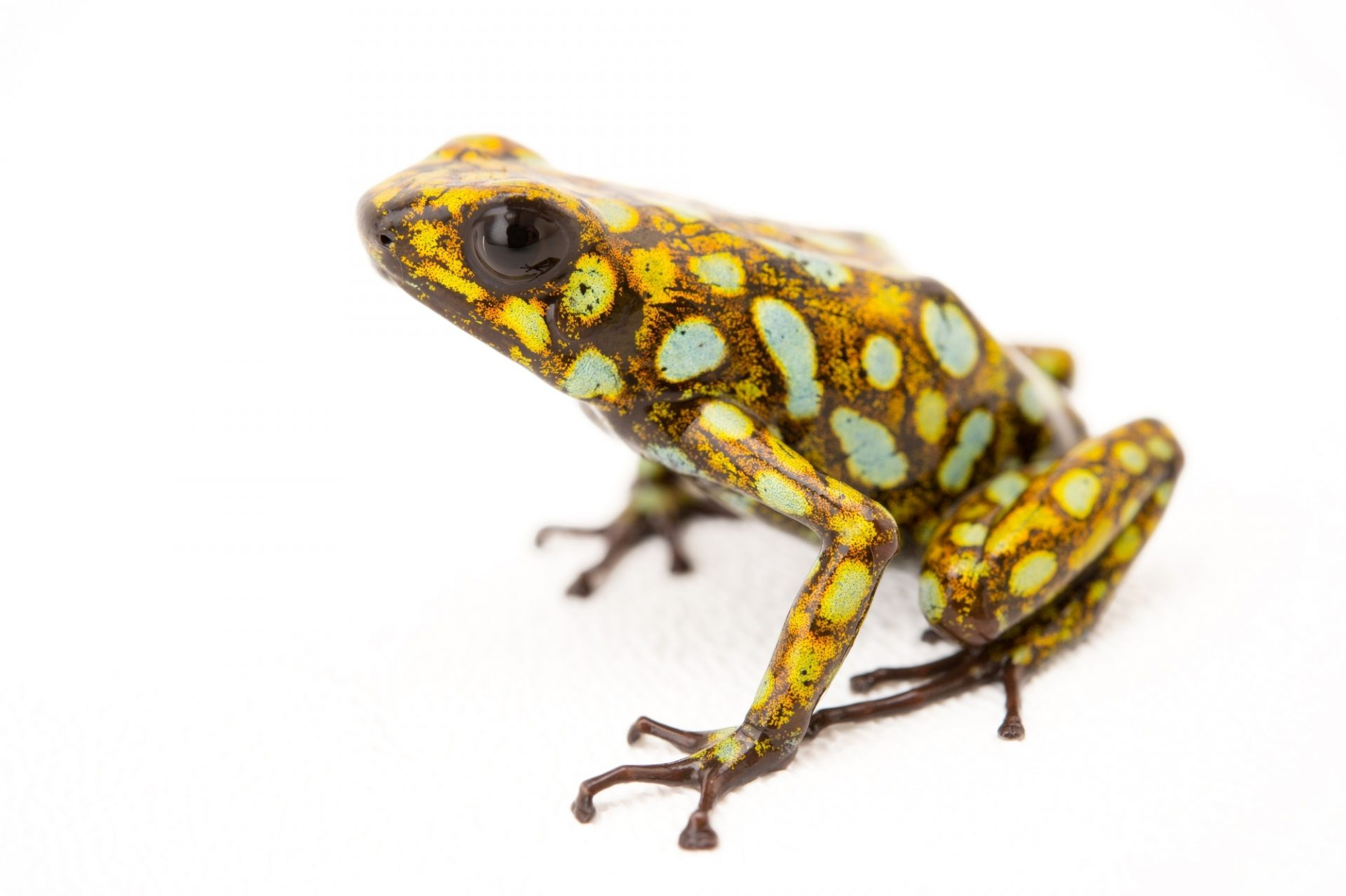 Picture of a diablito, also known as a little devil poison frog (Oophaga sylvatica) Lita/Imbabura, Ecuador locality, from a private collection.