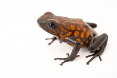 Picture of a diablito, also known as a little devil poison frog (Oophaga sylvatica) Santa Domingo, Ecuador locality, from a private collection.