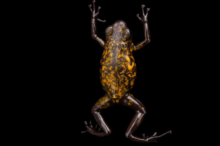 Picture of a diablito, also known as a little devil poison frog (Oophaga sylvatica) Chiguilpe, Ecuador locality, from a private collection.