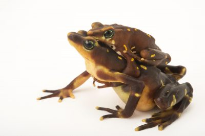 Picture of two critically endangered Pirri harlequin frogs (Atelopus glyphus) at the Panama Amphibian Rescue and Conservation Project.