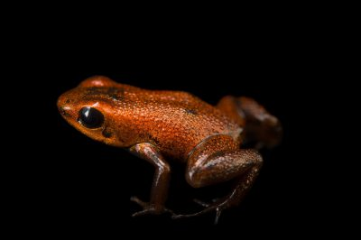 Photo: A Geminisa's dart frog (Andinobates geminisae) at the Panama Amphibian Rescue and Conservation Project.