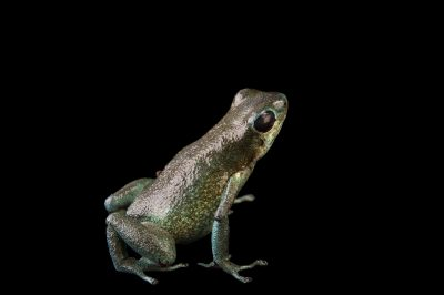 Picture of a Vicente's poison frog (Oophaga vicentei) at the Panama Amphibian Rescue and Conservation Project.