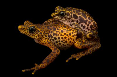 Picture of endangered Toad mountain harlequin frogs (Atelopus certus) in amplexus at the Panama Amphibian Rescue and Conservation Project.