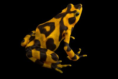 A critically endangered Costa Rican variable harlequin toad (Atelopus varius) at the El Valle Amphibian Conservation Center (EVACC).