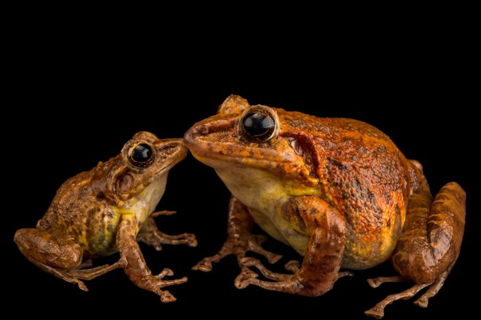 Picture of a male and female critically endangered Tabasara robber frog, Craugastor tabasarae, at El Valle Amphibian Conservation Center.
