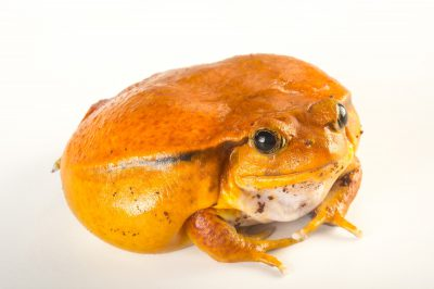 Picture of a true tomato frog, Dyschophus antongilii, from the Lincoln Children's Zoo.