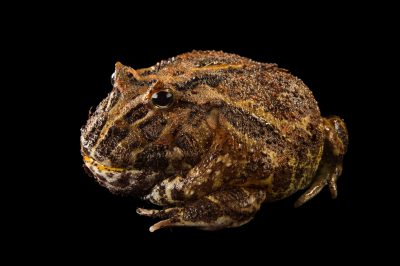 Picture of an Argentine horned frog (Ceratophrys ornata) at the Lincoln Children's Zoo.