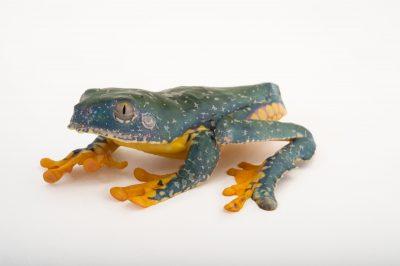 Picture of a fringe tree frog (Cruziohyla craspedopus) from the Atlanta Botanical Gardens.