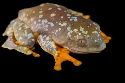 Picture of a juvenile fringe tree frog (Cruziohyla craspedopus) from the Atlanta Botanical Gardens.