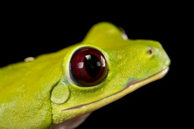 Picture of a gliding or Spurrell's tree frog (Agalychnis spurrelli) at the Saint Louis Zoo.