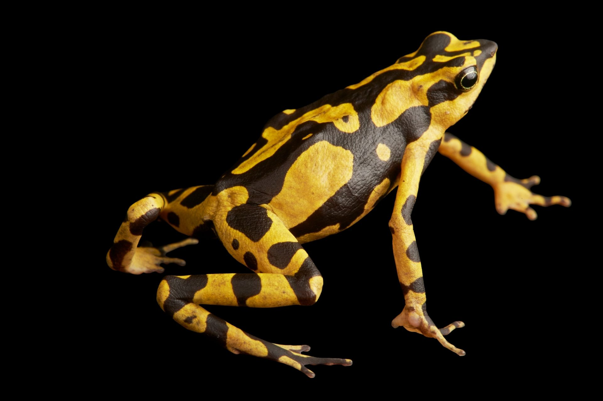 Picture of an undescribed harlequin frog (Atelopus species) from Suriname.