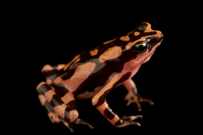 Photo: An undescribed harlequin frog (Atelopus species) from Suriname.