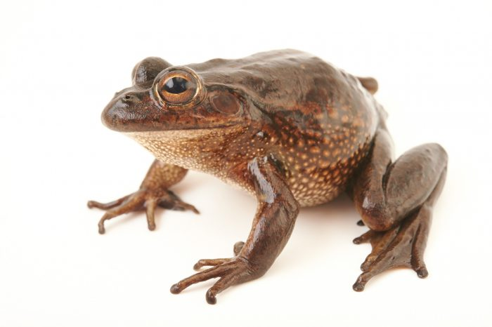 Picture of an endangered growling grass frog or southern bell frog (Litoria raniformis) at the Wellington Zoo.