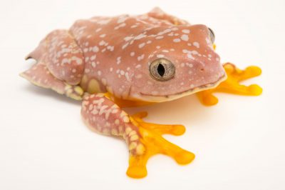 Picture of a fringe tree frog (Cruziohyla craspedopus) at a private collection in Gainesville, Florida.