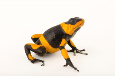 Picture of a critically endangered red phased Lehmann's poison frog, also known as a red-banded poison frog, (Oophaga lehmanni) at the Cali Zoo in Colombia.