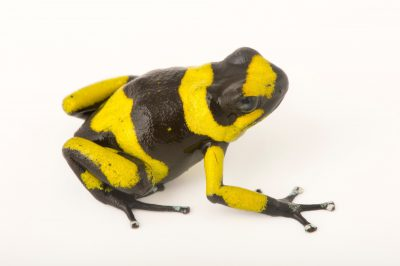 Picture of a critically endangered yellow phased Lehmann's poison frog, also known as a red-banded poison frog, (Oophaga lehmanni) at the Cali Zoo in Colombia.