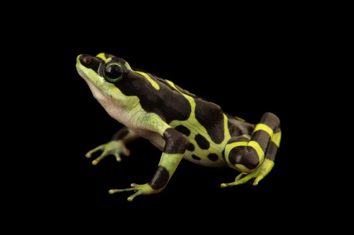 Photo: Condoto stubfoot toad (Atelopus spurrelli) at the Cali Zoo in Colombia.