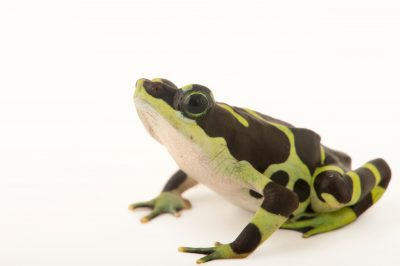 Photo: Condoto stubfoot toad (Atelopus spurelli) at the Cali Zoo in Colombia.