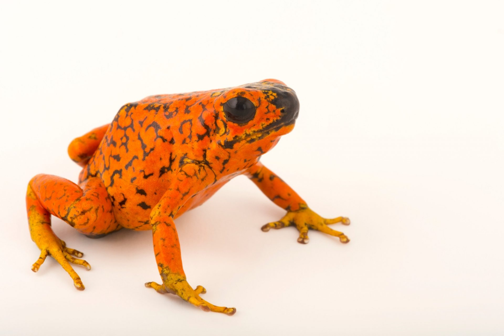 Picture of a Colombian color morph of a diablito frog (Oophaga sylvatica) at the Cali Zoo in Colombia.