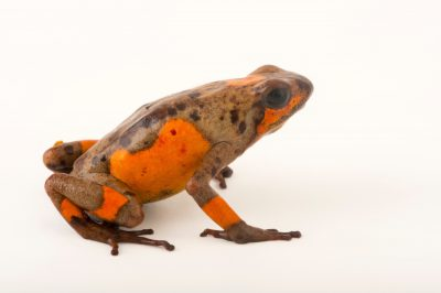 Picture of a Colombian color morph of a harlequin poison frog (Oophaga histrionica) at the Cali Zoo.