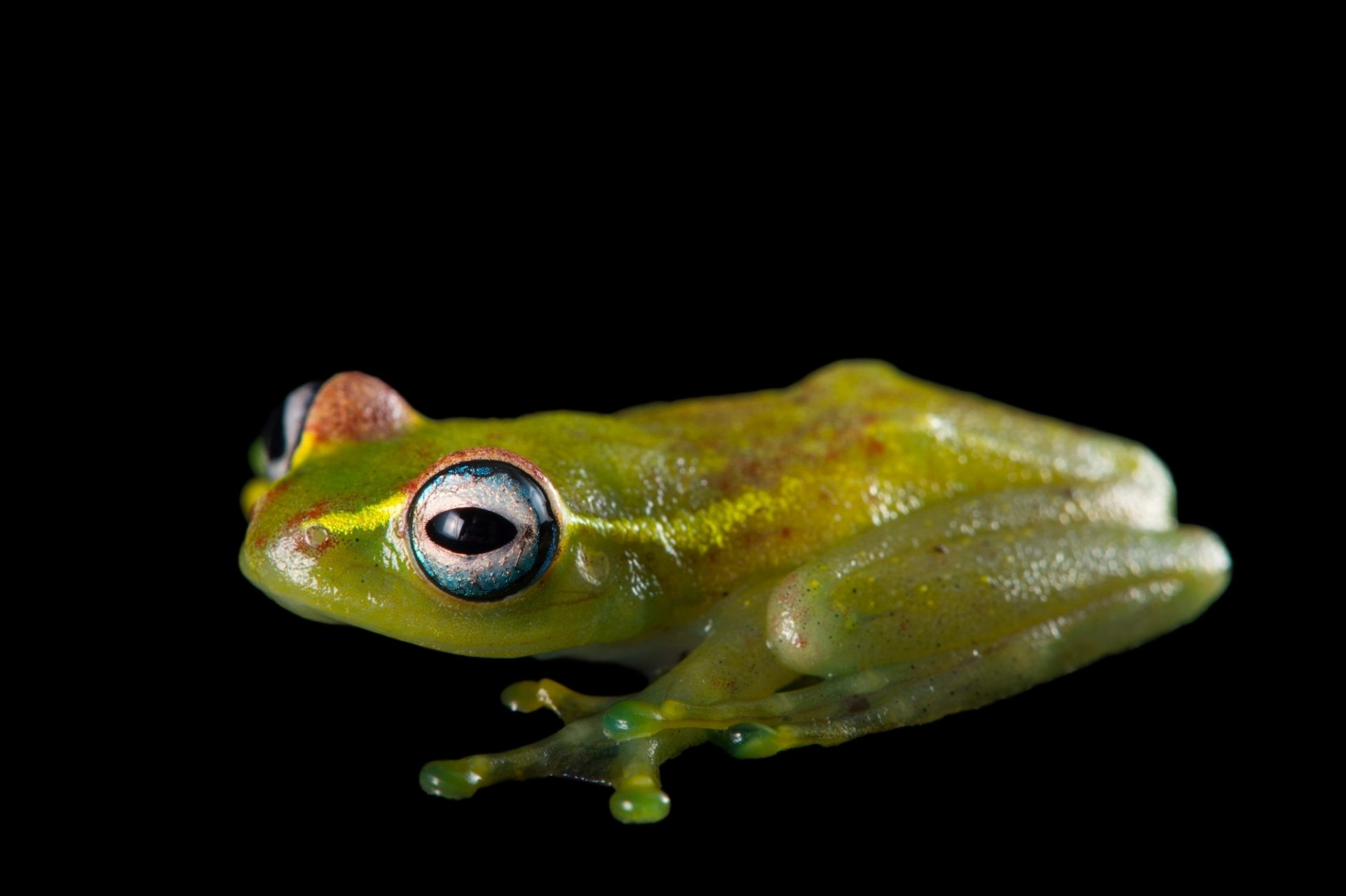 Photo: A central bright-eyed frog (Boophis rappiodes) from the Plzen Zoo in the Czech Republic.