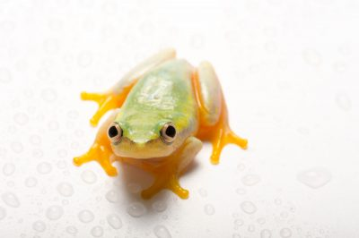 Photo: A Betsileo reed frog from Madagascar (Heterixalus betsileo) at the Plzen Zoo in the Czech Republic.