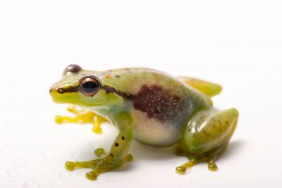 Photo: Tsarafidy Madagascar frog (Guibemantis pulcher) from the Plzen Zoo in the Czech Republic.