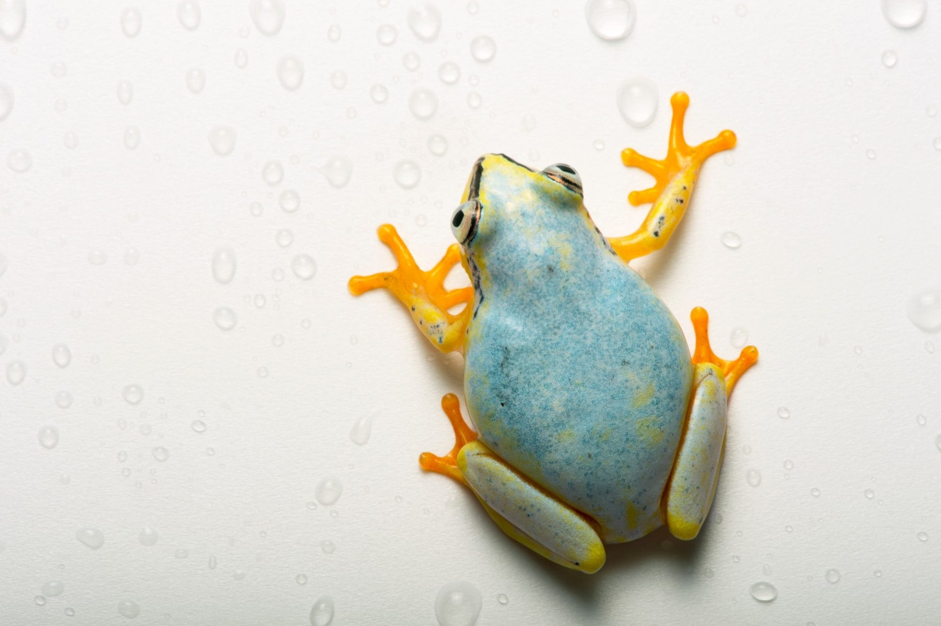 A Madagascar reed frog ( Heterixalus madagascariensis) from the Plzen Zoo in the Czech Republic.