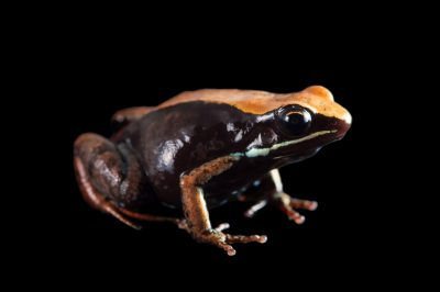 Photo: Betsileo golden frog (Mantella betsileo) from the Plzen Zoo in the Czech Republic.