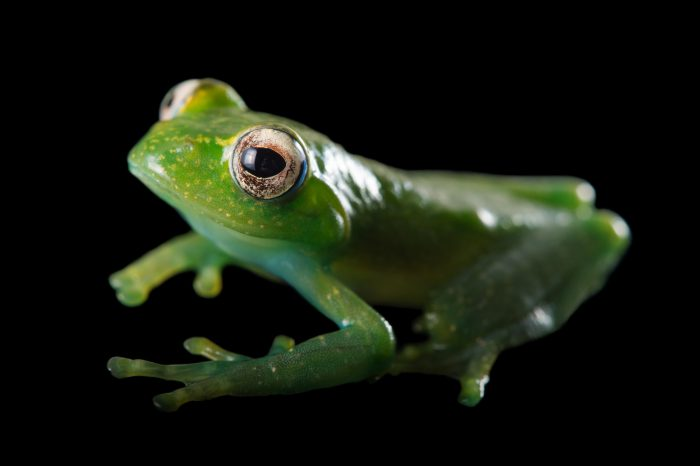 Photo: A Madagascar frog (Boophis elenae) from the Plzen Zoo in the Czech Republic.