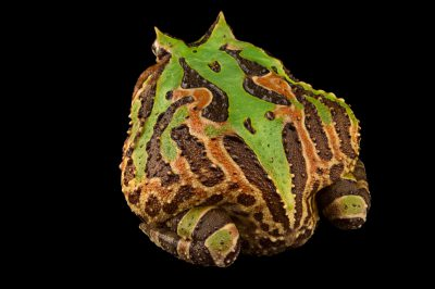 Photo: Brazilian horned frog (Ceratophrys aurita) from a private collection.