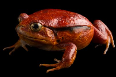 Picture of a tomato frog (Dyscophus antongilii) in Madagascar.