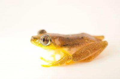 Photo: Punctatus Reed frog (Heterixalus punctatus) wild caught in Andasibe, Madagascar.