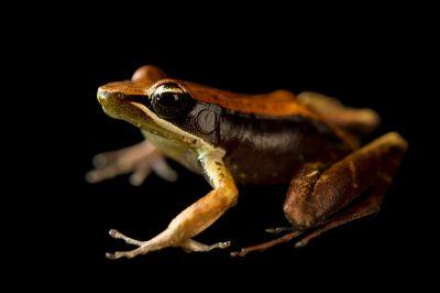 Photo: (Mantidactylus melanopleura) wild caught in Andasibe, Madagascar.
