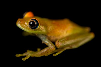 Photo: A green bright eyed frog (Boophis viridis) wild caught in Andasibe, Madagascar.