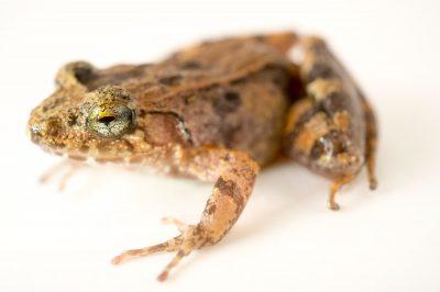 Betsileo Madagascar frog (Mantidactylus betsileanus) wild caught in Andasibe, Madagascar.