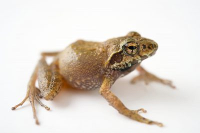 Photo: Boulenger's Madagascar frog (Gephyromantis boulengeri) wild caught in Andasibe, Madagascar.