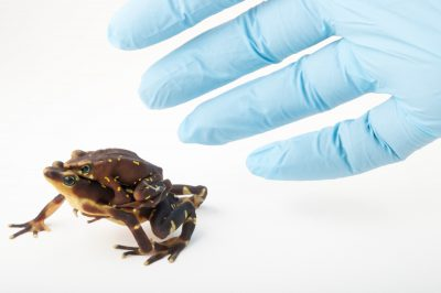 Picture of a critically endangered, Pirre harlequin frog (Atelopus glyphus) at the Panama Amphibian Rescue and Conservation Project.