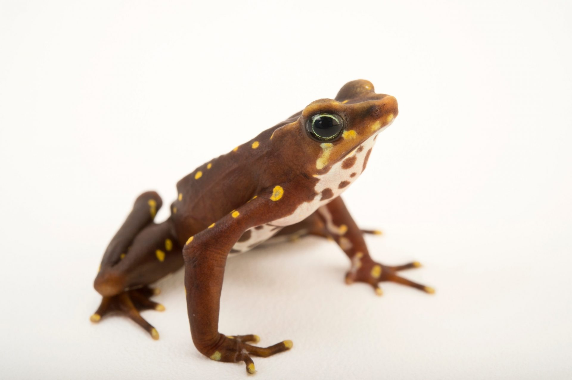Picture of the critically endangered, Pirre harlequin frog (Atelopus glyphus) at the Panama Amphibian Rescue and Conservation Project.