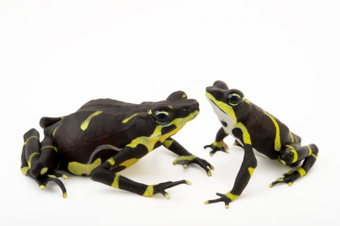 Photo: Chevron patter color morph of the Limosa harlequin frog (Atelopus limosus) at the Panama Amphibian Rescue and Conservation Project.
