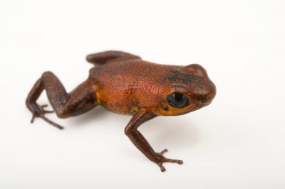 Photo: Geminisa's dart frog (Andinobates geminisae) at the Panama Amphibian Rescue and Conservation Project.