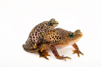 Picture of endangered female and male toad mountain harlequin frogs (Atelopus certus) at the Panama Amphibian Rescue and Conservation Project.
