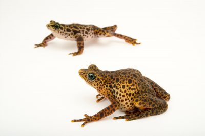 Picture of endangered male and female toad mountain harlequin frogs (Atelopus certus) at the Panama Amphibian Rescue and Conservation Project