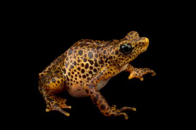 Picture of an endangered female toad mountain harlequin frog (Atelopus certus) at the Panama Amphibian Rescue and Conservation Project.