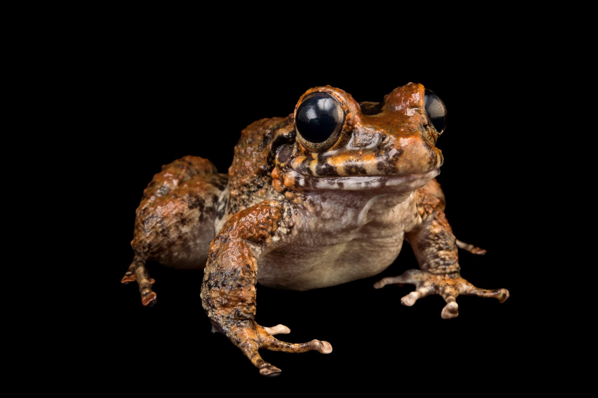 A male robber frog (in the Craugastor punctariolus series) at the Panama Amphibian Rescue and Conservation Project. This is a project designed to establish captive breeding populations of frogs at risk of extinction from the frog-killing Chytrid fungus.